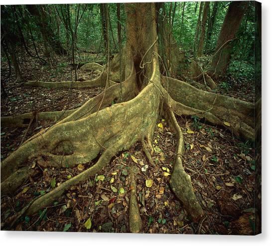 Interior Lowlands Canvas Print   Lowland Tropical Rainforest By  Ferrero Labat