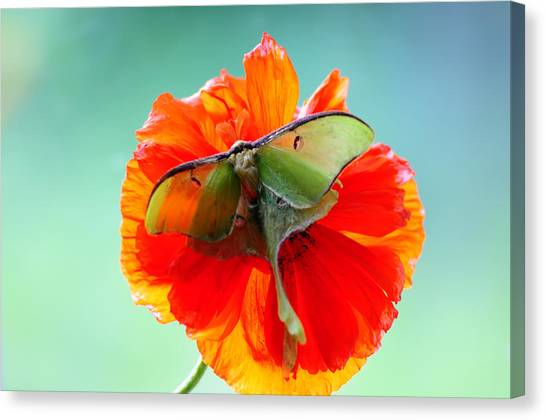 Luna Moth On Poppy Aqua Back Ground Canvas Print