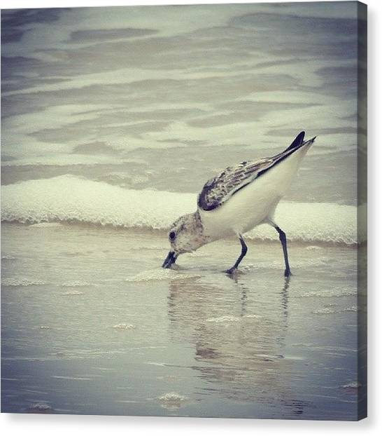 Sandpipers Canvas Print - Lunchtime. #lbi #newjersey #beach by Brian Harris