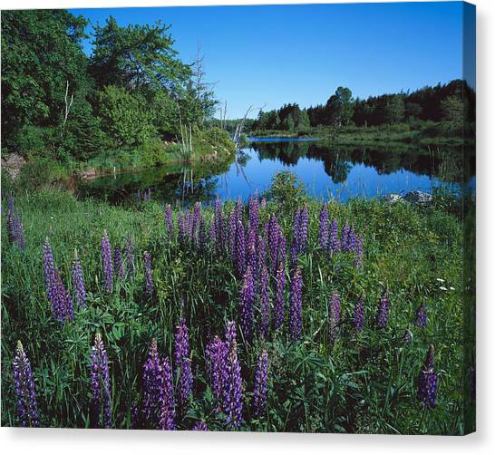 Lupin And Lake Canvas Print