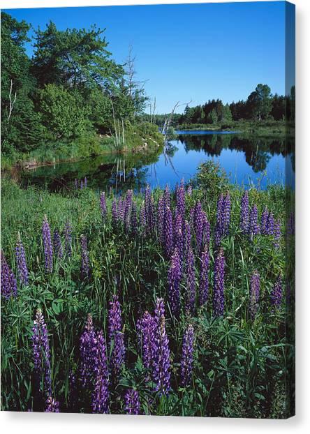 Lupin And Lake-v Canvas Print