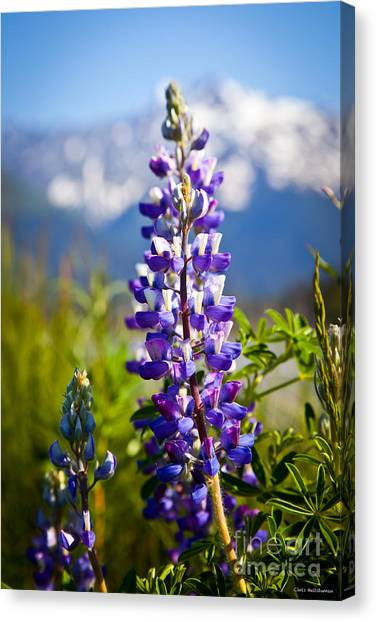 Lupin Canvas Print by Chris Heitstuman