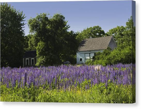 Lupine Flowers Near Round Pond Maine Canvas Print