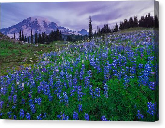 Lupines Dawn Canvas Print