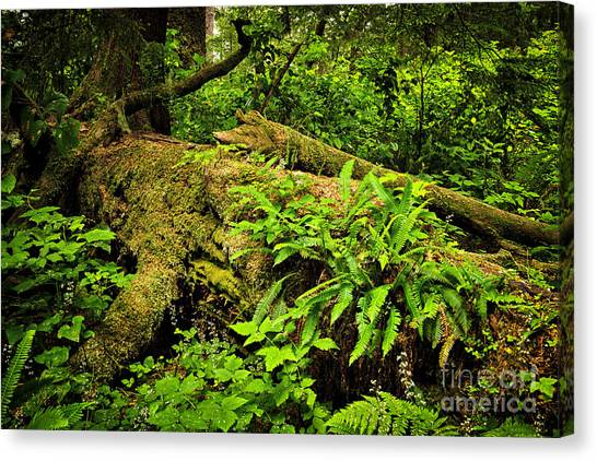 Vancouver Island Canvas Print - Lush Temperate Rainforest by Elena Elisseeva