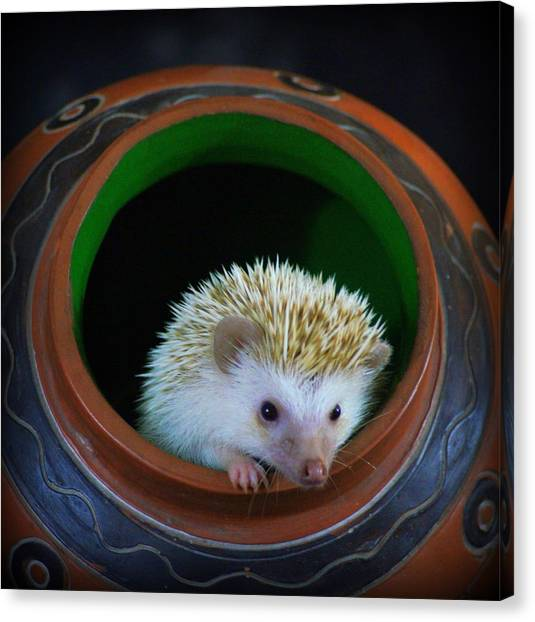 Lyla The Hedgehog Canvas Print