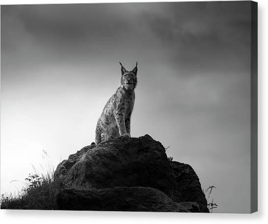 Lynx Canvas Print - Lynx Drama. by Sergio Saavedra Ruiz
