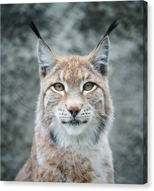Lynx Portrait Canvas Print by Photographs By Maria Itina