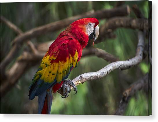 Macaws Canvas Print - Macaw Colors by Dave Dilli