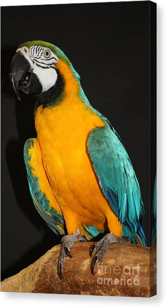Macaw Hanging Out Canvas Print