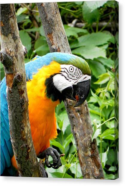 Macaw Canvas Print by Michael Caron