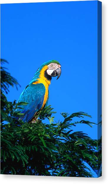 Macaw Canvas Print - Macaw Parrot In Kido Ecological by Margie Politzer