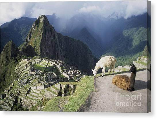 Llamas Canvas Print - Machu Picchu And Llamas by James Brunker