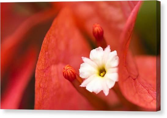 Macro Bougainvillea Bloom 1 Canvas Print