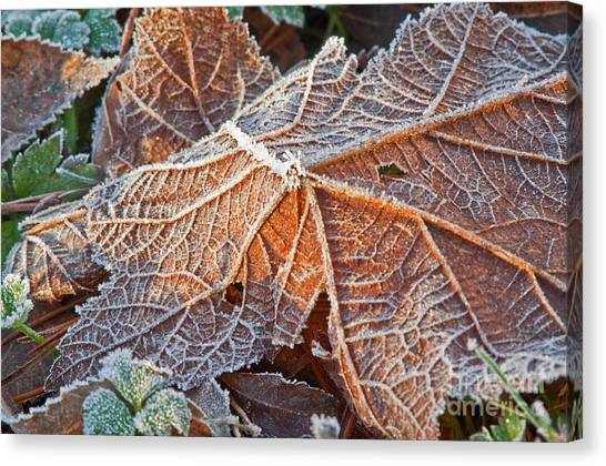 Macro Nature Image Of Fallen Leaf With Frost Canvas Print