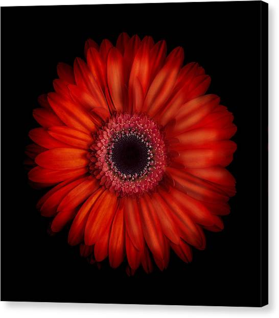 Macro Photograph Of An Red And Orange Gerbera Daisy Against A Black Background Canvas Print