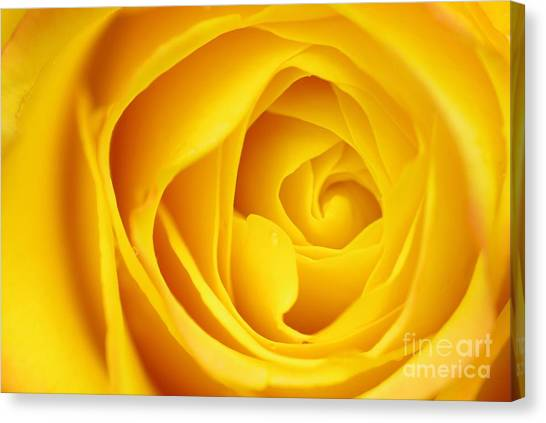 Macro Yellow Rose Canvas Print by Patrick Dinneen