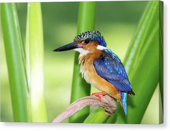 Kingfisher Canvas Print - Madagascar Kingfisher by Dr P. Marazzi