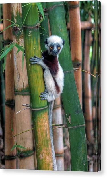 Madagascar Sifaka Baby Lemur Canvas Print by Mariusz Kluzniak