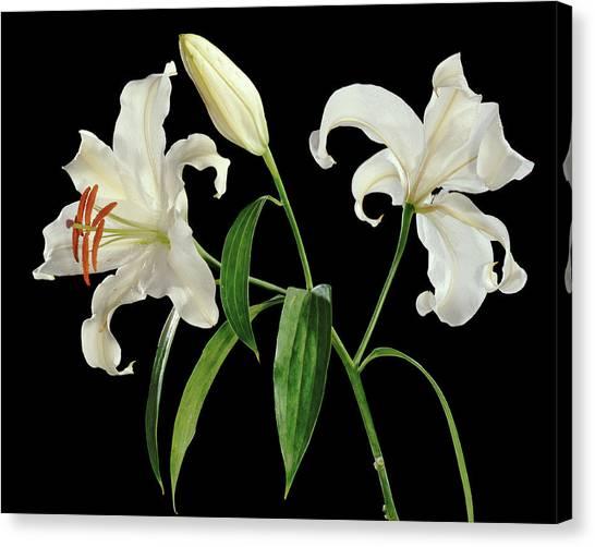 Madonna Lily (lilium Candidum) Canvas Print by Gilles Mermet