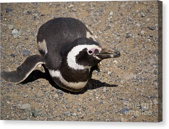 Magellanic Penguin On Its Belly Canvas Print