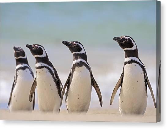 Carcass Canvas Print - Magellanic Penguins Carcass Island by Heike Odermatt