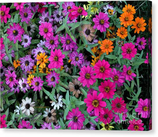 Canvas Print featuring the photograph Magenta Daisies by Dee Flouton