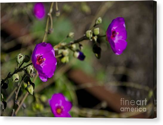 Magenta Flowers Canvas Print by Aaron Fromenthal
