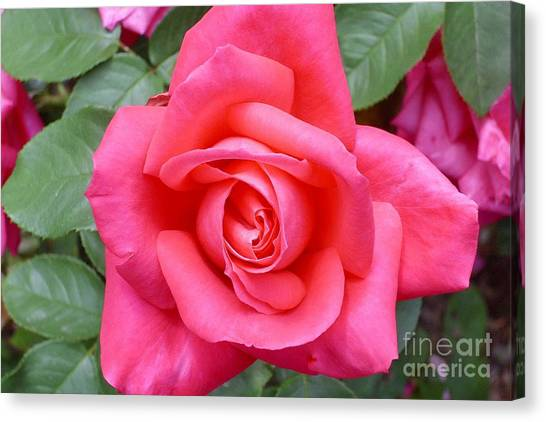 Magenta Rose Magic Canvas Print