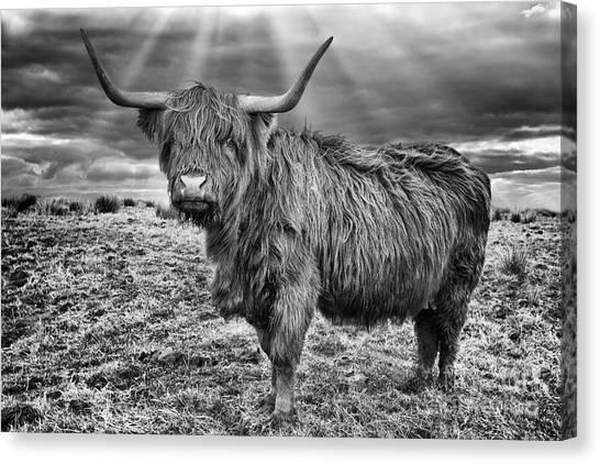 Lama Canvas Print - Magestic Highland Cow by John Farnan