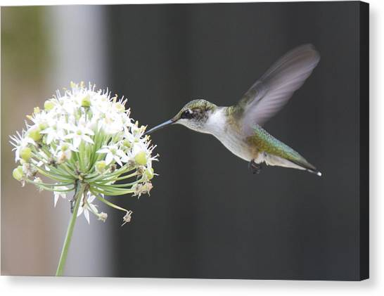 Hummingbirds Canvas Print - Magical Hummingbird by Marcela Martinez