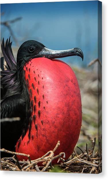 Ecuadorian Canvas Print - Magnificent Frigatebird (fregata by Pete Oxford