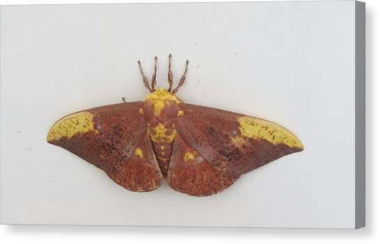 Magnificent Moth Canvas Print