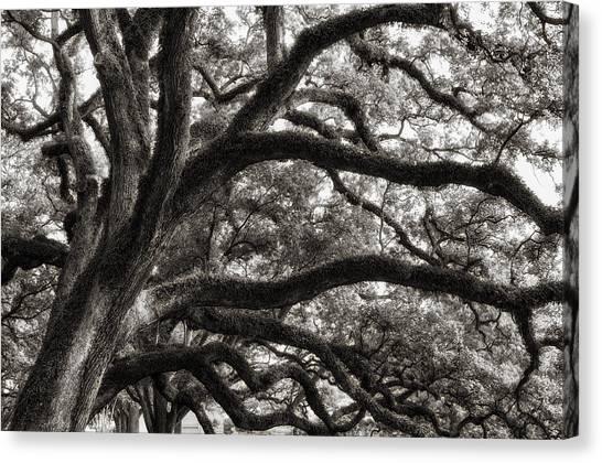 Magnificent Oaks Of Louisiana Canvas Print