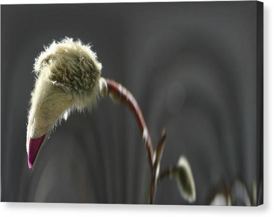 Magnolia Blossom Series 703 Canvas Print