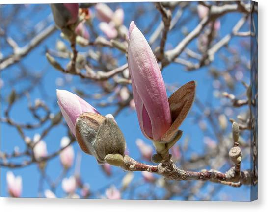 Magnolia Bud Canvas Print by Greg Thiemeyer