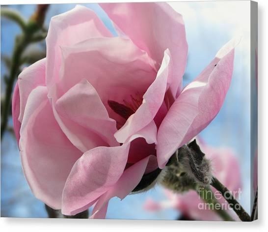 Magnolia In Spring Canvas Print