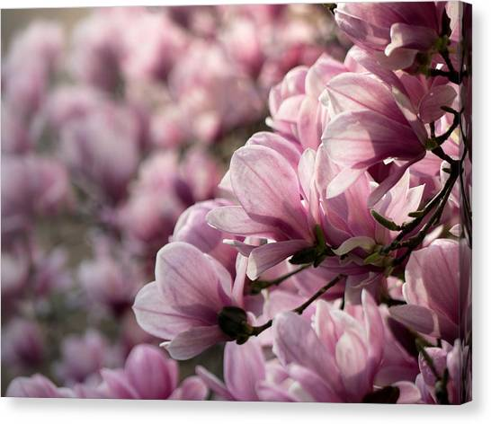 Magnolia Layers 2 Canvas Print