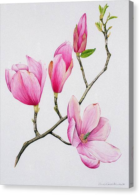 In Bloom Canvas Print - Magnolia by Sally Crosthwaite