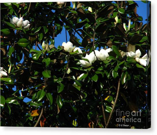 Magnolia Setting Canvas Print by Greg Patzer