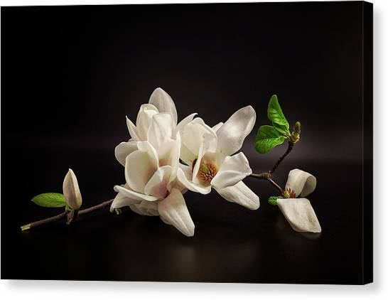 Orchids Canvas Print - Magnolia by Tony08