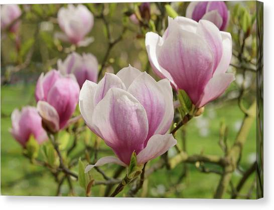 Saucer Canvas Print - Magnolia X Soulangeana Flowers by Jane Sugarman