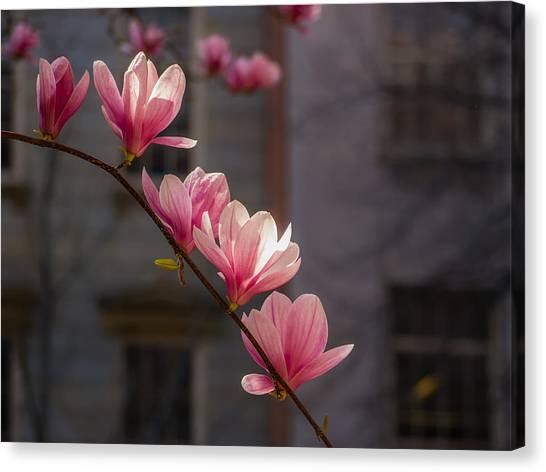 Magnolia's Descent Canvas Print