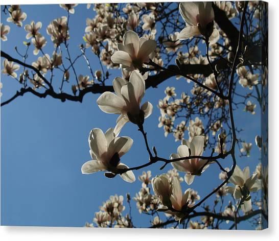 Magnolias Canvas Print by Rita Haeussler