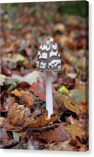 Magpies Canvas Print - Magpie Inkcap Fungus (coprinus Picaceus) by John Devries/science Photo Library
