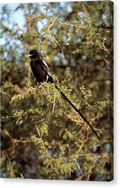Magpies Canvas Print - Magpie Shrike by Tony Camacho/science Photo Library