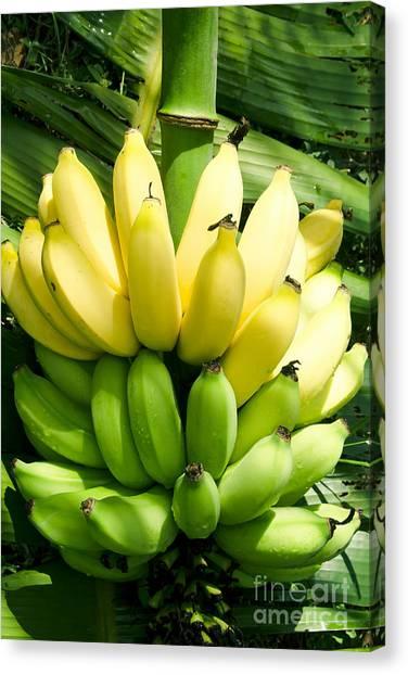Banana Tree Canvas Print - Maia Maole Banana Makawao Maui Hawaii by Sharon Mau
