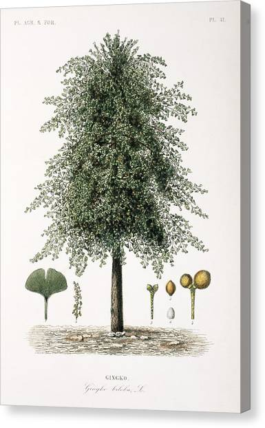 Gingko Canvas Print - Maidenhair Tree, 19th Century by Science Photo Library