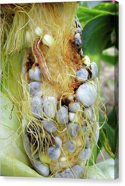 Maize Cob Infected With Corn Smut Canvas Print by Eric Schmelz/us Department Of Agriculture