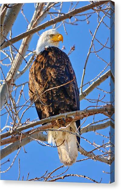 Rights Managed Images Canvas Print - Majestic Bald Eagle by Greg Norrell
